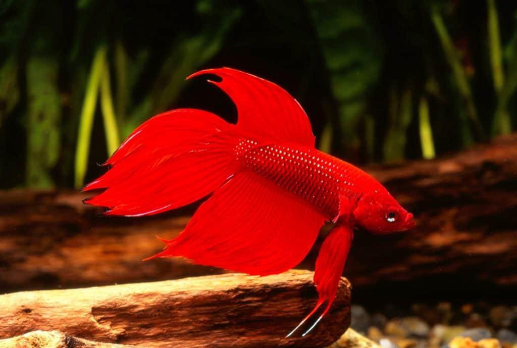 Betta Fish (Betta splendens)