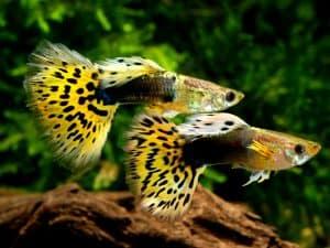 Guppy Fish, Poecilia Reticulata