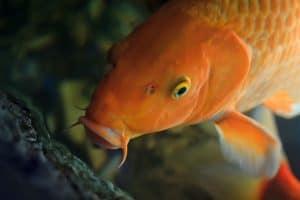Koi Fish Lifespan