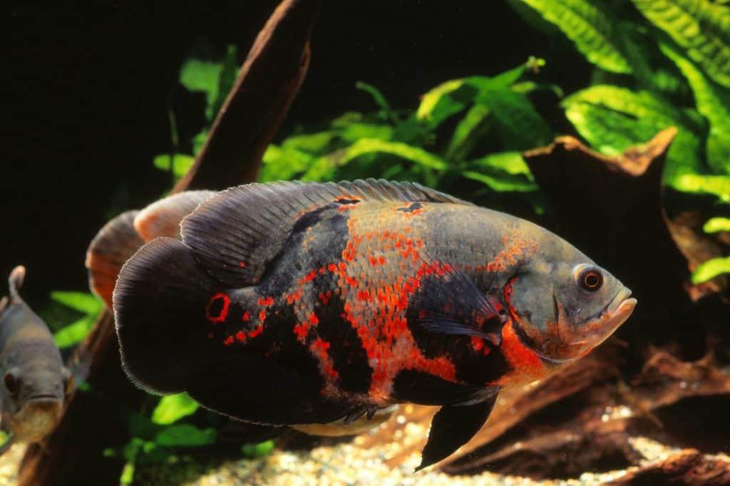 Oscar Fish, Astronotus ocellatus