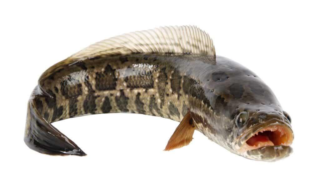 Snakehead Fish on Land