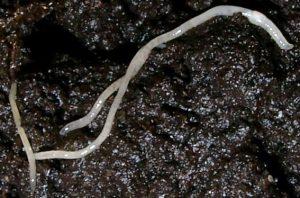 White Worm Culture