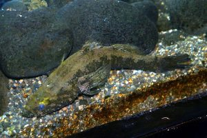 Water Cow Goby