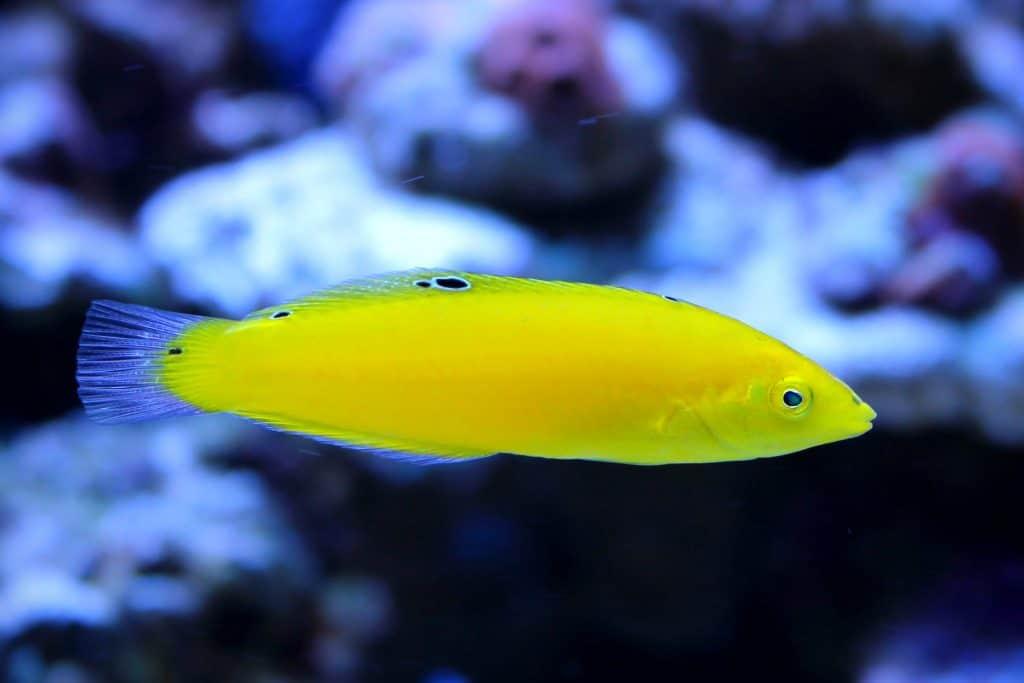 Yellow Coris Wrasse