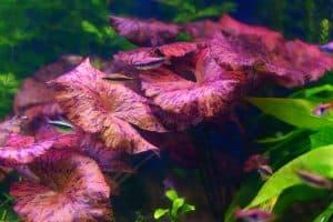 Red Tiger Lotus